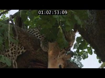 Vidéo Leopard Huntress